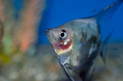 Blue blushing angelfish face closeup Stock Photos