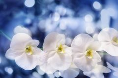 Blue bokeh blurry background with white orchid flowers Royalty Free Stock Photos