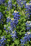 Blue Bonnet. Up close view of the perfect blue, blue bonnet in Texas, USA. Where the blue bonnet is the state flower Stock Photos