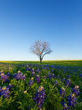 A Blue Bonnet Field, Ennis, Texas Royalty Free Stock Photography