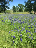Blue Bonnet Field in Texas. Blue Bonnet wildflowers in a meadow in Texas Royalty Free Stock Image