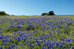 Blue Bonnet Flower Royalty Free Stock Photos
