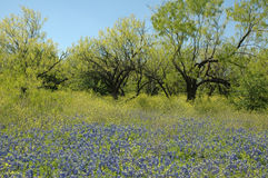 Blue Bonnet Meadow Stock Photo