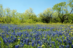 Blue Bonnet Portrait Royalty Free Stock Photos