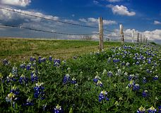 Blue Bonnet Row Royalty Free Stock Photography