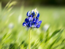Blue Bonnet In The Wind. Texas blue bonnet in a community park Stock Image