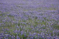 Blue Bonnets Stock Photos