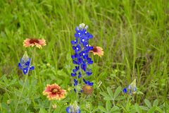 Blue bonnets in a field Stock Photos