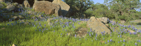 Blue bonnets in Hill Country. Willow City Loop Road, Texas royalty free stock photography