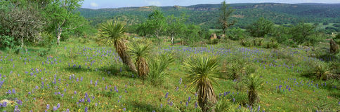 Blue Bonnets in Hill Country, Royalty Free Stock Image