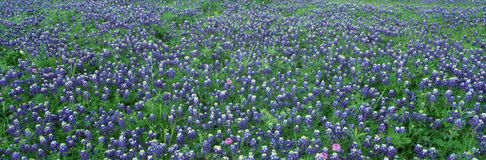 Blue Bonnets in Hill Country Stock Image
