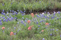 Blue Bonnets, and, Indian Paint Brushes Royalty Free Stock Image