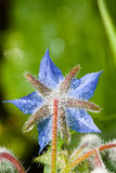 Blue borage Stock Photography