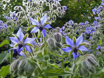 Blue borage. Star flower in the garden, in back-light Royalty Free Stock Photo