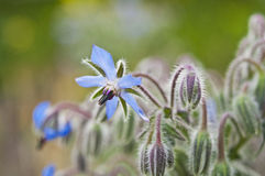 Blue borage Stock Photos