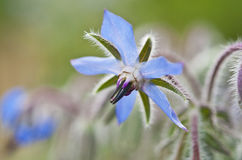 Blue borage Royalty Free Stock Photo
