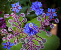 Blue Borage and cornflower flowers Stock Image