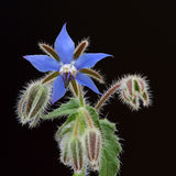 Blue Borage flower Stock Photography