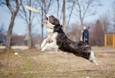 Blue Border Collie catching disc in jump