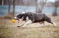 Blue Border Collie dog playing with a toy ball. Cute funny Blue Border Collie dog playing with a toy ball royalty free stock image