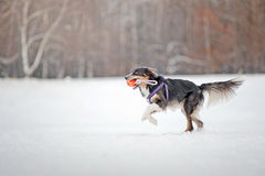 Border collie dog running with toy in winter Royalty Free Stock Photos