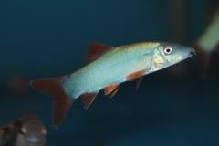 Blue Botia (Yasuhikotakia modesta) aquarium fish. Blue Botia (Yasuhikotakia modesta) freshwater aquarium fish royalty free stock photography