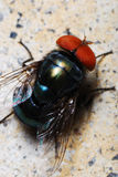 Blue Bottle Fly. A macro photo taken on a blow fly Stock Images