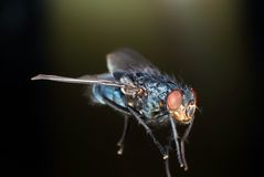 Blue Bottle Fly. Shot in macro , low depth of field Royalty Free Stock Photo
