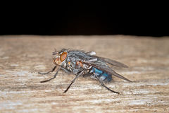 Blue Bottle Fly Royalty Free Stock Photos