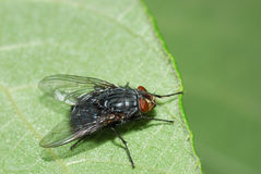 Blue bottle fly Stock Photography