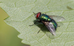 A blue bottle fly. A blue green bottle fly on a leaf macro Royalty Free Stock Photos