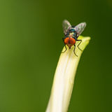 Blue bottle fly resting on leaf Stock Image