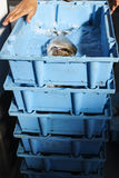 Seafood for fish auction. Blue boxes containing fresh fish for the auction market Royalty Free Stock Images