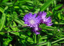 Blue Boy Bachelor Button Wildflower Cornflower Royalty Free Stock Photography