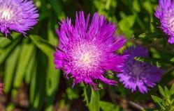Blue Boy Bachelor Button Wildflower Cornflower Stock Photos