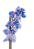 Blue branch orchid  flowers,  Orchidaceae, Phalaenopsis known as the Moth Orchid. Royalty Free Stock Photography