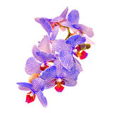 Blue branch orchid  flowers,  Orchidaceae, Phalaenopsis known as the Moth Orchid. Stock Images