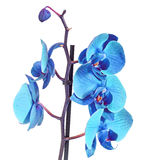 Blue branch orchid  flowers, Orchidaceae, Phalaenopsis known as the Moth Orchid, abbreviated Phal Stock Images