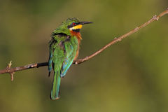 Blue-breasted Bee-eater Royalty Free Stock Photo