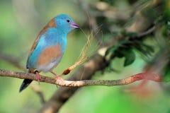 Blue-breasted Cordon-bleu bird Royalty Free Stock Photo