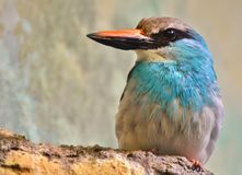 Blue-Breasted Kingfisher & x28;Halcyon malimbica& x29; Stock Images