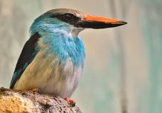 Blue-Breasted Kingfisher Halcyon malimbica Stock Images