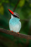 Blue-breasted Kingfisher, Halcyon senegalensis, beautiful bird on the dark forest habitat. Kingfisher sitting on the tree branch. Stock Image