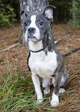 Blue brindle Pitbull Boston Terrier mixed breed puppy dog Royalty Free Stock Photos