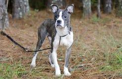 Blue brindle Pitbull Boston Terrier mixed breed puppy dog stock photo