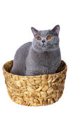 Blue British cat in a basket. Royalty Free Stock Photos