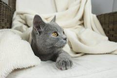 Blue British cat Royalty Free Stock Photography