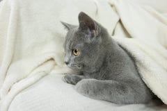 Blue British cat Royalty Free Stock Photos
