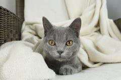 Blue British cat Stock Photo