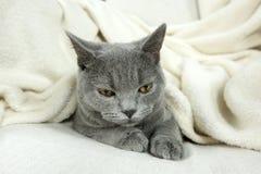 Blue British cat Stock Photos